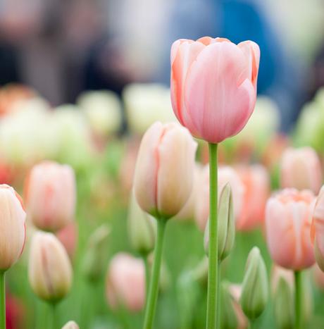Tulpen soft pink
