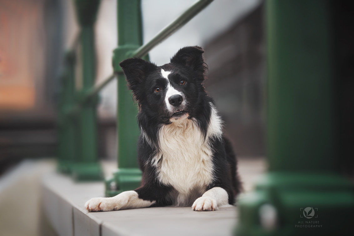 Border Collie - - - foto door AllNaturePhotography op 25-11-2020 - deze foto bevat: kleur, portret, huisdier, hond, steen, hondenportret, huisdierfotografie, stadsfotografie, hondenfotografie, Border Collie, natuurlijk licht