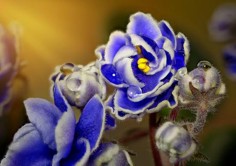 Kaaps viooltje - Saintpaulia ionantha_5703