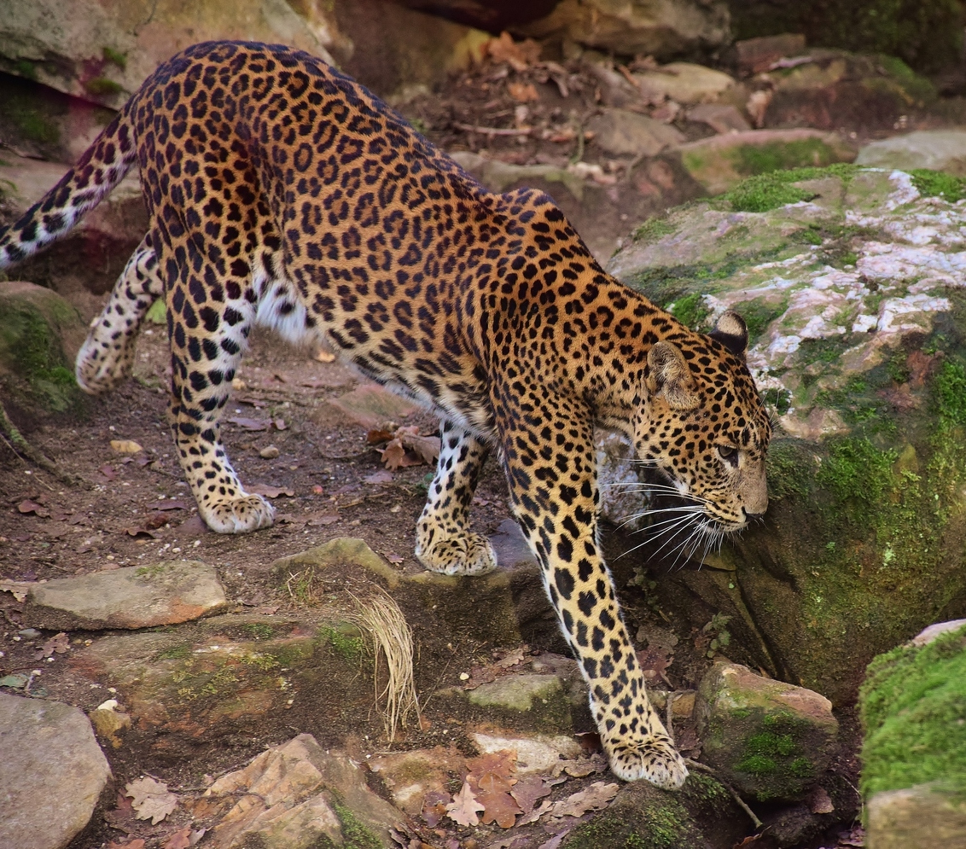 Srilanka Panter - Blikvanger in de dierentuin - foto door 1Herdershond op 26-01-2019 - deze foto bevat: dierentuin, natuur, panter, zoo, katachtigen, roofdieren, wilde dieren, srilanka panter - Deze foto mag gebruikt worden in een Zoom.nl publicatie
