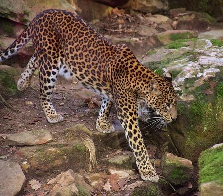 Srilanka Panter - Blikvanger in de dierentuin - foto door 1Herdershond op 26-01-2019 - deze foto bevat: dierentuin, natuur, panter, zoo, katachtigen, roofdieren, wilde dieren, srilanka panter