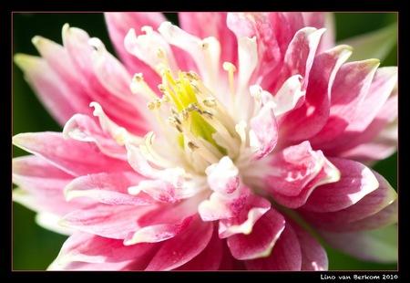 Akelei...! - Akelei uit eigen tuin. - foto door linovb op 23-05-2010 - deze foto bevat: roze, akelei