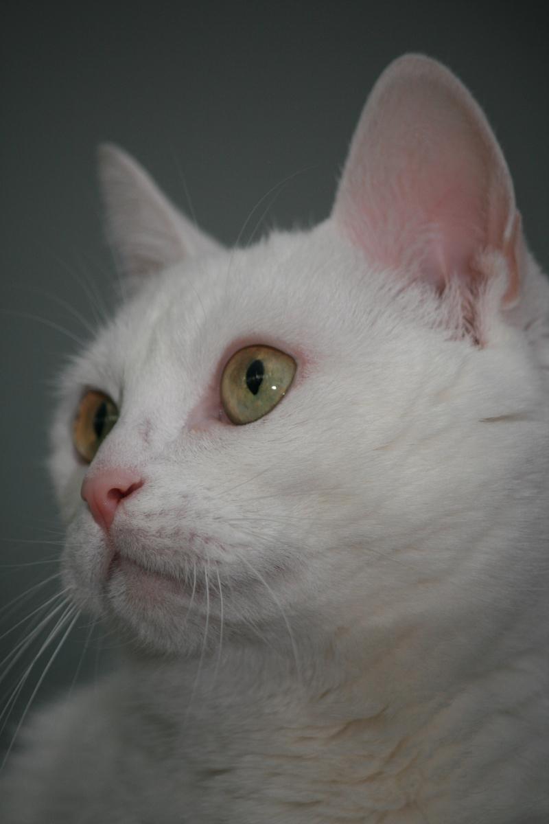 blanche - oordeel zelf maar - foto door glimmend op 22-08-2011 - deze foto bevat: wit, huisdier, kat, blanche