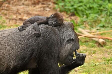 Kleine man - Tuena is voor het eerst moeder geworden, ze is blij en trots en heel zorgzaam (L) de kleine man is 15 juli geboren en heet Moos. - foto door Tanneke op 08-10-2020 - deze foto bevat: dierentuin, dieren, aap, gorilla, moos, Beekse bergen, westelijke laaglandgorilla, tuena