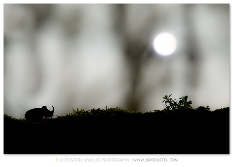 Neushoornkever silhouette