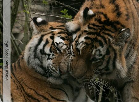 Kattenliefde - - - foto door BiancaBlonk op 29-04-2016 - deze foto bevat: dierentuin, tijger
