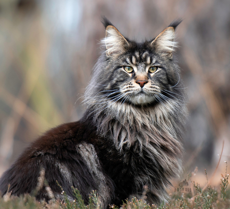 Maine Coon Grimmdal