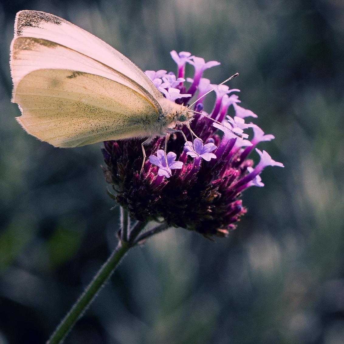 Koolwitje - Een koolwitje zoekend naar zijn lunch.. - foto door Christiaan_zoom op 20-08-2017 - deze foto bevat: roze, donker, eten, macro, wit, bloem, natuur, vlinder, oog, koolwitje, tong, filter, bokeh
