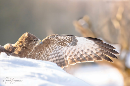 Waarheen - Waarheen - foto door guidobauhuis op 28-02-2021 - deze foto bevat: natuur, sneeuw, dieren, vogel, buizerd, wildlife