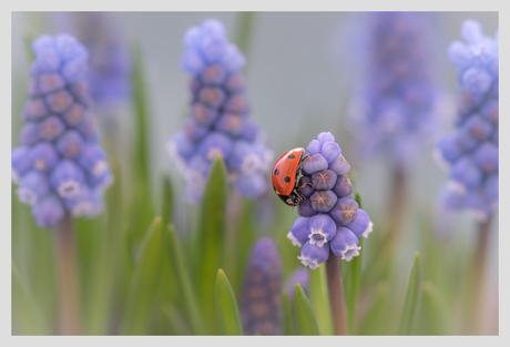Lieveheersbeestje op Blauw druifje.