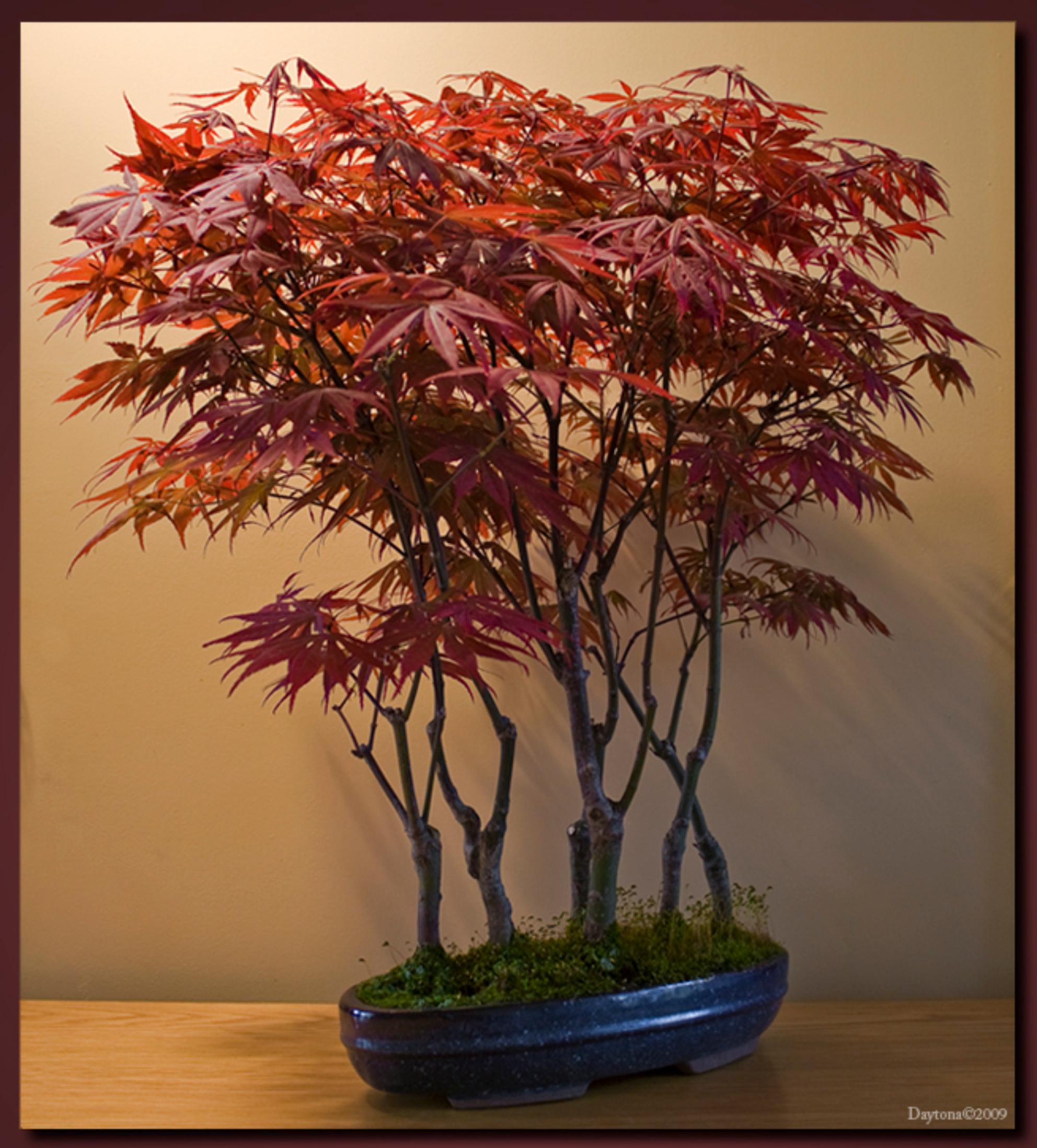 Bonsai 7 nu met blad - Nog even Bonsai 7 maar nu met blad. Dit Acer japonicum mini bos heeft ondertussen zijn rode bladerdek gekregen en nu had ik wat moeite met de belich - foto door Daytona_zoom op 14-04-2009 - deze foto bevat: gras, rood, boom, bladeren, mos, blad, bos, bomen, takken, tak, stam, takjes, blaadjes, acer, acerjaponicum, bonsai, stammen, boompjes, daytona, bonsai-s, japonicum - Deze foto mag gebruikt worden in een Zoom.nl publicatie