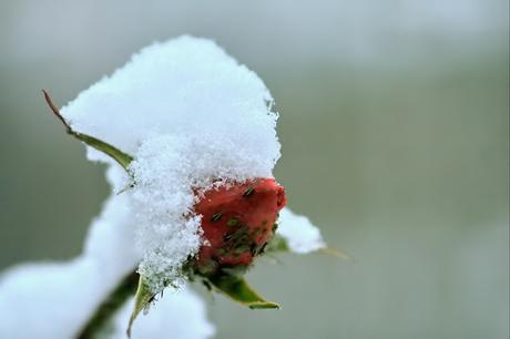 sneeuwroos, bewerkt