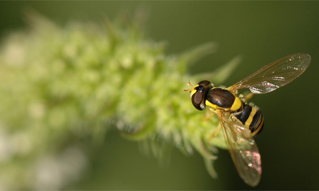 Zweefvlieg - - - foto door Lailaat op 03-08-2008 - deze foto bevat: macro, wesp, bij, vlieg, zweefvlieg, insect, nikon, tamron, biemie, nerds