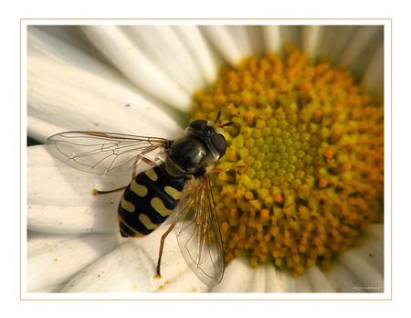 Zweefvlieg3!! - Hallo... dit vind ik erg mooie zweefvliegjes...je ziet ze redelijk veel nu...maar ze zijn wel redelijk klein... ik heb snel even gezocht naar de so - foto door smeagol op 22-05-2009 - deze foto bevat: macro, zweefvlieg, s5, terrasjeskommazwever, smeagol, 250d