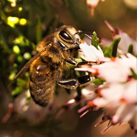Smullen maar - Dit beestje zat lekker in de tuin van de bloemetjes van onze heideplantje te snoepen. Het bleef net lang genoeg zitten om er een foto van te maken.  - foto door PaulvanVliet op 25-03-2021 - deze foto bevat: macro, bloem, natuur, bij, tuin, dieren, insecten, erica, nectar, heideplant
