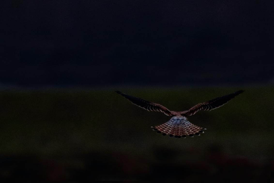 de boventoon voeren - de achterkant van een torenvalk - foto door AnneliesV op 21-02-2021 - deze foto bevat: natuur, dieren, vogel, torenvalk