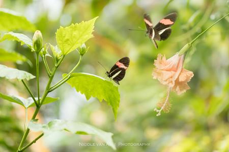 Fladderaars. - Prachtige fladderaars in de vlindertuin. - foto door nicole-8 op 24-06-2020 - deze foto bevat: roze, groen, rood, macro, wit, bloem, natuur, vlinder, geel, licht, oranje, tuin, tegenlicht, zomer, insect, contrast, vlindertuin, pastel, bokeh, lightroom, nivas, manueel, vlinders aan de vliet, m stand, canon 80d
