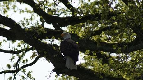 balded eagle in een eik