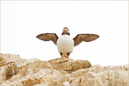 En..... Actie - Weer een puffin, heb zoveel leuke. Deze is weer anders, zoals ie daar stond, in het tegenlicht, ik vond het wel wat hebben zo in het wit. Graag jull - foto door deez66 op 14-08-2013 - deze foto bevat: vogels, vogel, schotland, visjes, uk, puffin, papagaaiduiker, staple island, Farne islands, deez66
