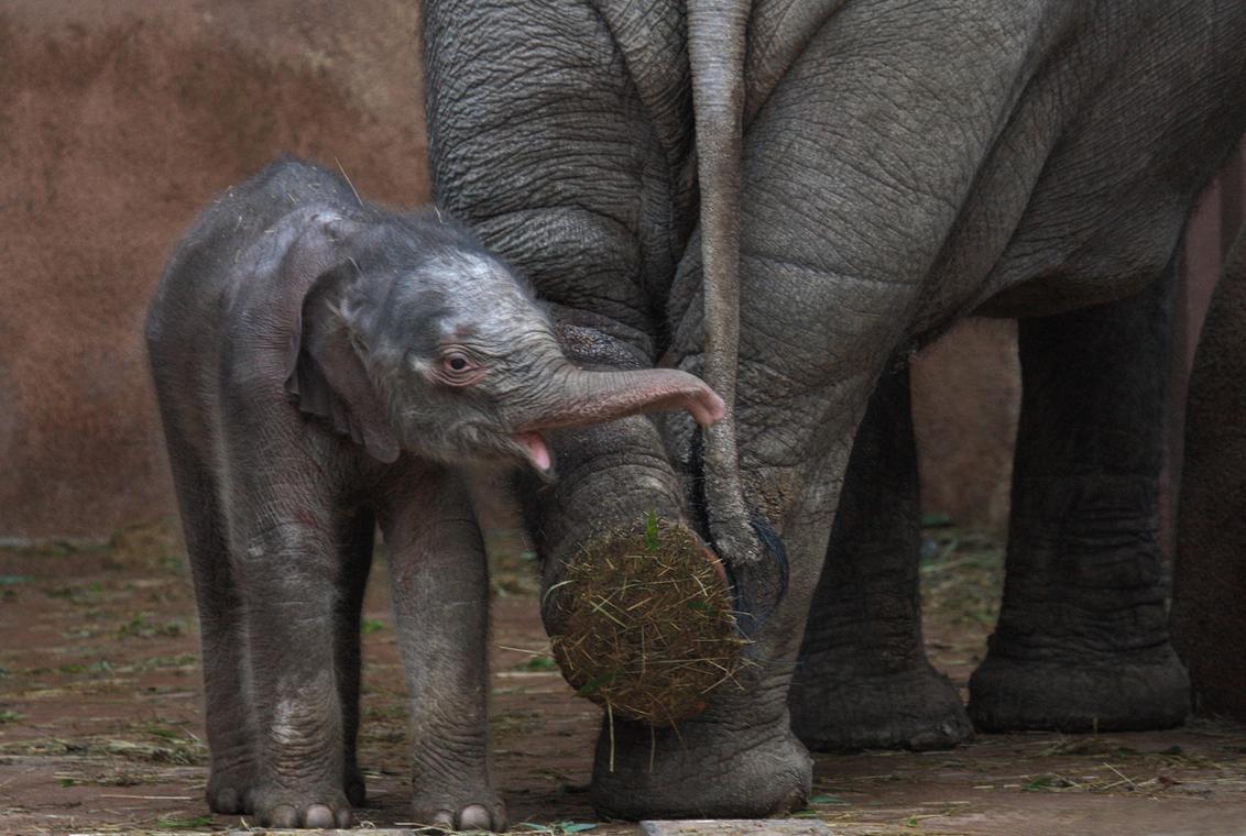Tonya baby-elefantitis - Het is lang, heel lang geleden dat ik mijn laatste upload deed. Geruime tijd ben ik inspiratieloos geweest (wat fotograferen betreft); zoommail uitge - foto door ArjanD400 op 14-02-2009 - deze foto bevat: rotterdam, dierentuin, dieren, olifant, dier, beest, blijdorp, beesten, kalf, arjand400, tonya