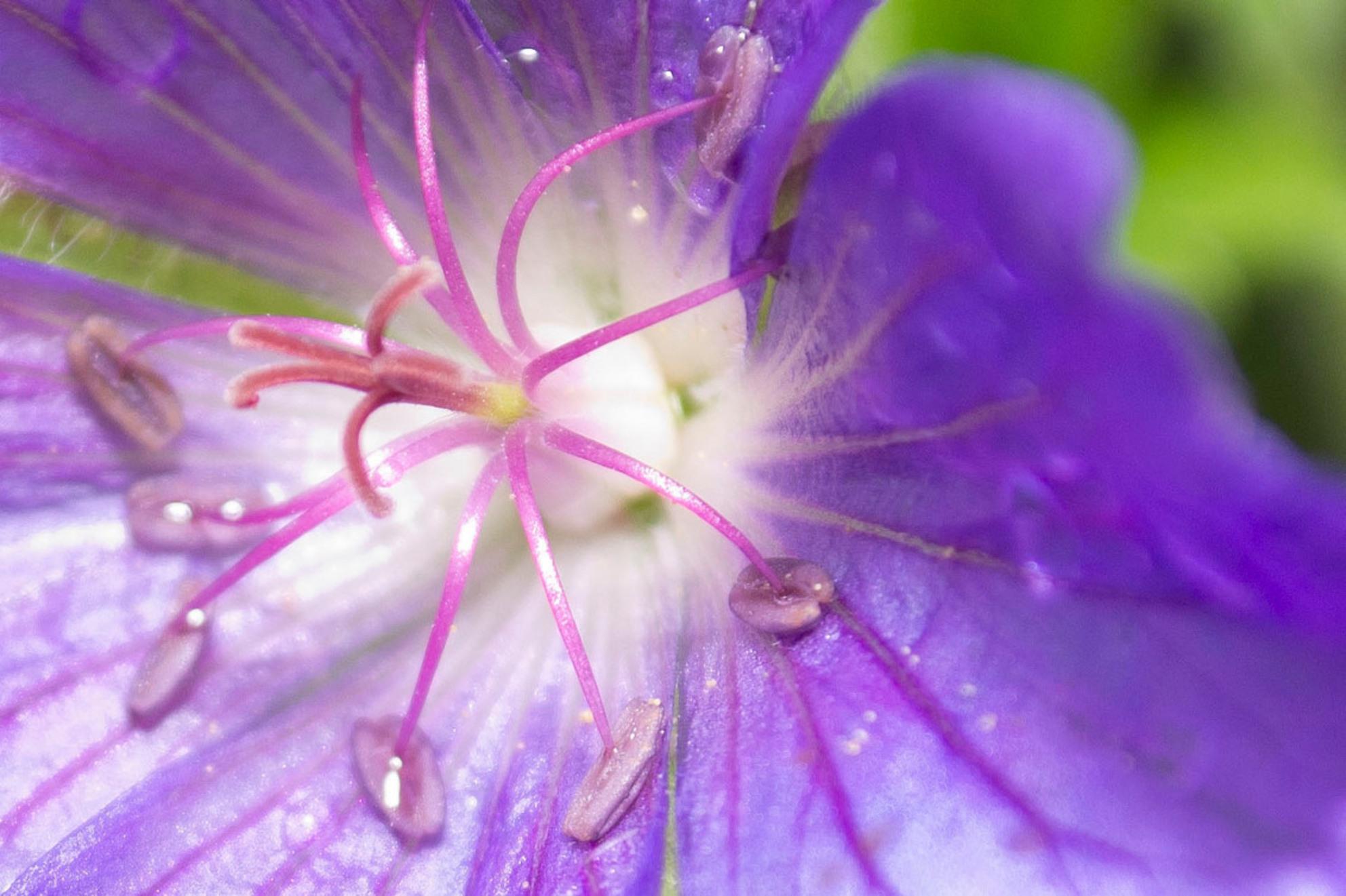 Stampertje - Stampers van een blauwe bloem. - foto door Desiree91 op 30-07-2014 - deze foto bevat: macro, bloem, natuur, tuin, landschap, voorjaar - Deze foto mag gebruikt worden in een Zoom.nl publicatie