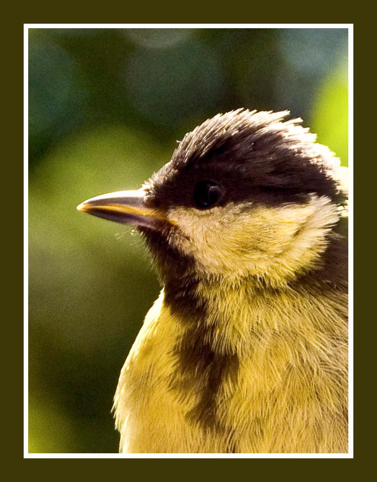 Alles lijkt nieuw... - Jonge koolmees kijkt de wereld in. - foto door johndegrooth op 05-07-2009 - deze foto bevat: natuur, vogel, koolmees