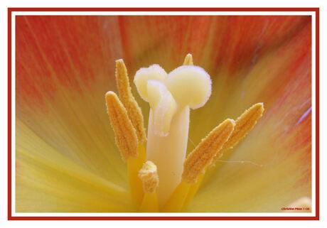 Tulp, voorjaar