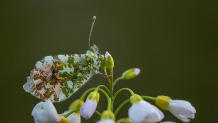 Slaap maatje - Zelfde tipje als de vorige foto alleen een kwartslag gedraaid zag een vlieg op zijn vleugels zitten...zijn slaap maatje.  Bedankt voor de reacties  - foto door peacefull op 24-04-2019 - deze foto bevat: groen, macro, bloem, lente, natuur, pinksterbloem, vlieg, oranje, oranjetipje, insect