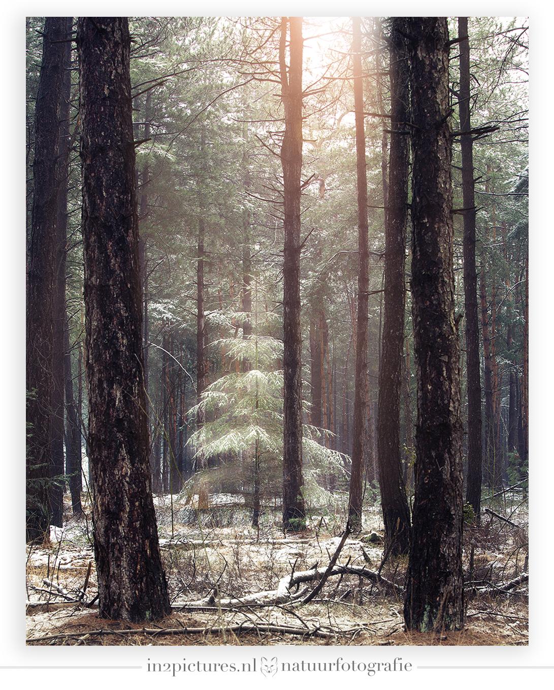 Winter in het Weerterbos - Deze mooie dennenboom stond op een uitzonderlijk mooie plek. Ik was bijna terug bij de auto, de zon kwam al door en de dooi was ingezet. Ineens zag i - foto door in2picturesnature op 28-01-2021 - deze foto bevat: zon, natuur, licht, sneeuw, winter, lichtval, landschap, bos, bomen, dennenboom, weert, weerterbos
