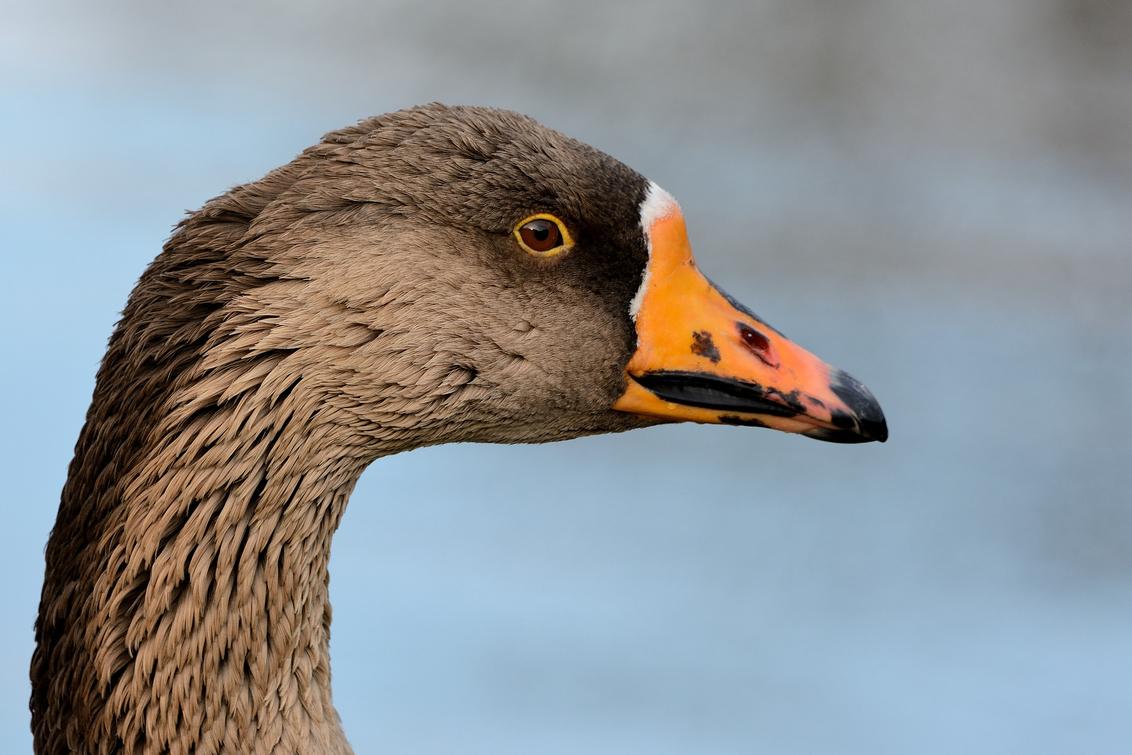 Close-up gans - Ik dacht even aan een kolgans, maar dat blijkt niet zo te zijn. Wie het weet mag het zeggen!!  Bedankt voor de leuke reacties en stemmen bij mijn v - foto door Anjaverh op 03-03-2021 - deze foto bevat: vogel