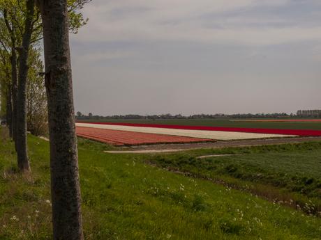 Bloembollenveld, Goeree-Overflakkee