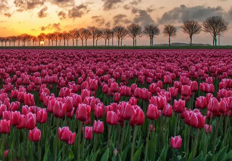 Tulpen in zonsopkomst