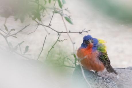 Kleurige purpergors man