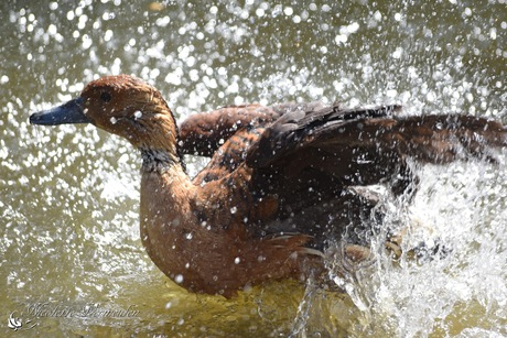 Eend spat in het water