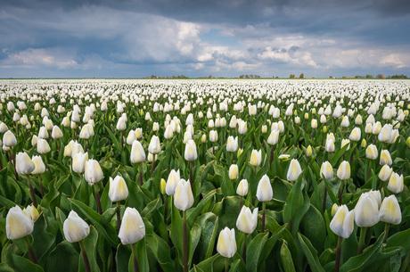 Een veld vol witte tulpen