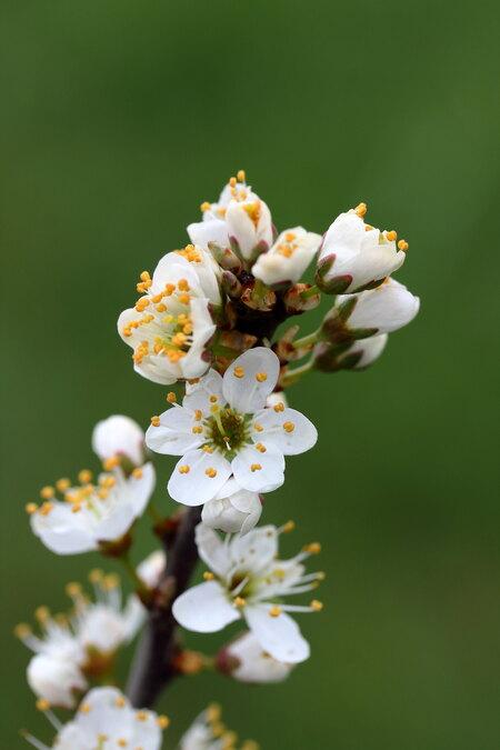 Sleedoorn - Volop in de bloei - foto door patrickoa op 10-04-2021 - locatie: 6551 Weurt, Nederland - deze foto bevat: sleedoorn, bloem, fabriek, bloemblaadje, takje, boom, bloesem, terrestrische plant, bloeiende plant, detailopname, macrofotografie