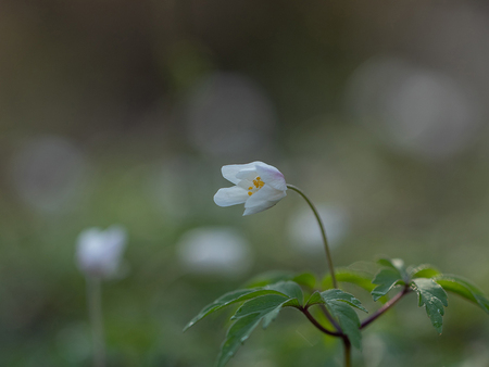 Bosanemoon III - Uitgezoomd beeld van de bosanemonen - foto door d.v.veen op 10-04-2021 - locatie: 5071 Udenhout, Nederland - deze foto bevat: natuur, anemoon, bloem, bloemen, voorjaar, lente, bokeh, bloem, fabriek, bloemblaadje, terrestrische plant, natuurlijk landschap, takje, pedicel, bloeiende plant, kruidachtige plant, gras