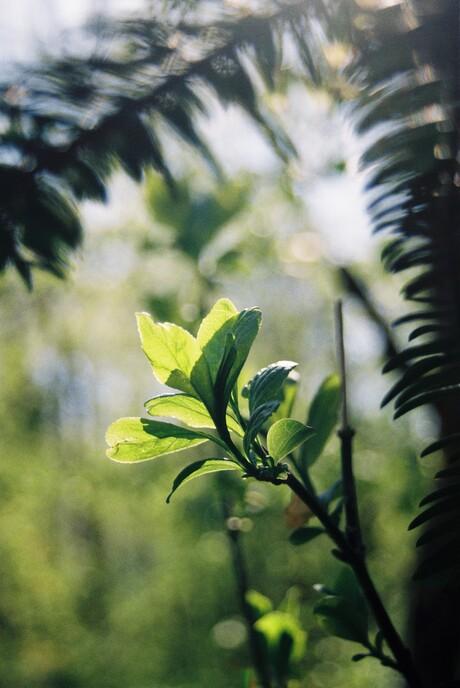 Lente in het bos (analoog)