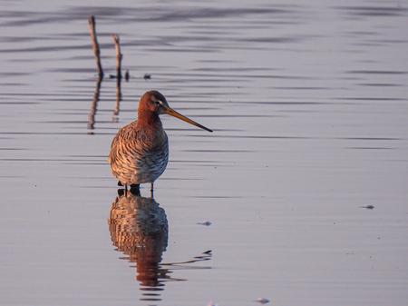 Grutto - Grutto tijdens het ochtendgloren  - foto door GerardvI55 op 12-04-2021 - locatie: Zoetermeer, Nederland - deze foto bevat: vogel, grutto, dieren, water, vogel, vloeistof, bek, meer, watervogel, veer, dieren in het wild, vleugel, dowitcher