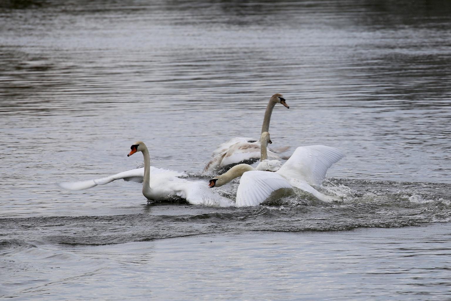 Zwanen - Concurrentie - foto door Ebben op 16-04-2021 - deze foto bevat: water, vogel, bek, meer, nek, watervogels, eenden, ganzen en zwanen, natuurlijk landschap, veer, fabriek