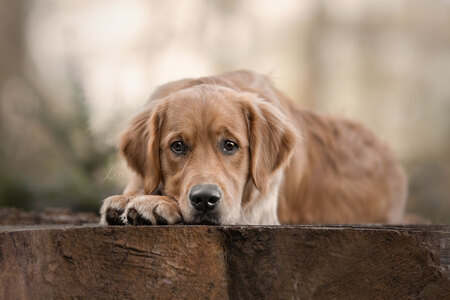 golden love - Puppy senna liet met liefde zijn flatdown zien! - foto door YongleiOfficial op 16-04-2021 - deze foto bevat: hondenfotografie, hondenfotograaf, dog photography, golden retriever, puppy, natuur, sigma 105mm f/1.4, honden portret, portret, hond, hondenras, carnivoor, hout, metgezel hond, fawn, boom, snuit, sportieve groep, canidae