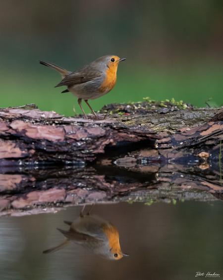 Roodborstje - Roodborstje - foto door barthendrix op 17-04-2021 - locatie: 't Gooi - deze foto bevat: roodborstje, natuur, vogels, water, vogel, hout, takje, bek, veer, aanpassing, fabriek, zangvogel, staart