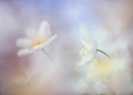 bosanemoon - iedereen bedankt voor de reacties op mijn vorige upload,gemaakt met de laowa 60 mm macro lens - foto door loeffen_zoom op 13-04-2021 - deze foto bevat: bloem, fabriek, bloemblaadje, lucht, kruidachtige plant, terrestrische plant, pedicel, hout, bloeiende plant, takje