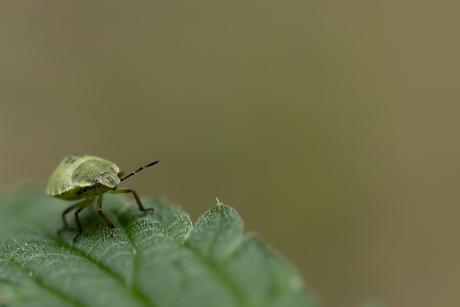 Palomena prasina - Groene stinkwants