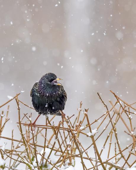 Spreeuw in sneeuwstorm