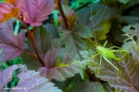 Kleine groene sprinkhaan