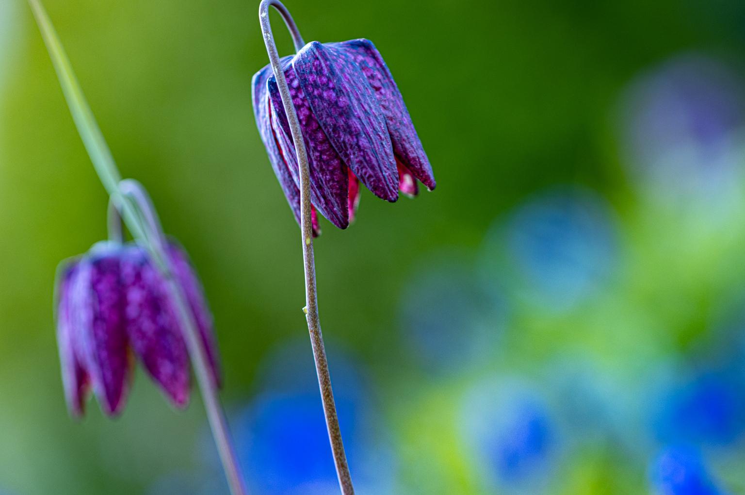 bloem - vrolijke kleuren - foto door gerjovl op 14-04-2021 - deze foto bevat: kleur,bloem, bloem, fabriek, blauw, plantkunde, purper, bloemblaadje, terrestrische plant, bloeiende plant, pedicel, detailopname