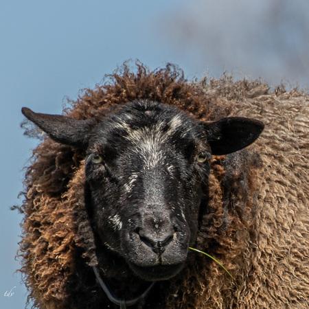 Het zwarte schaap.... - Een smaakvol grassprietje - foto door TiendV op 12-04-2021 - locatie: Poortugaal, Nederland - deze foto bevat: haar, hoofd, oog, lucht, werkend dier, schapen, terrestrische dieren, schapen, snuit, vee