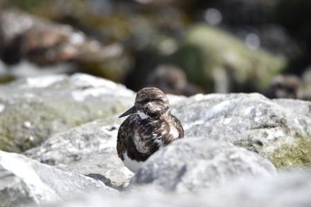 Steenloper - Steenloper - foto door WiebeF op 14-04-2021 - deze foto bevat: vogel, bek, bodem, watervogels, zeevogel, eenden, ganzen en zwanen, watervogel, veer, rots, gras