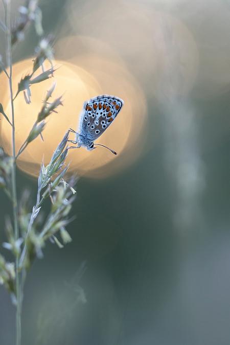 Bruinblauwtje  - Een bruinblauwtje dat van de ondergaande zon zit te genieten. - foto door constant_zoom op 15-04-2021 - locatie: Echt, Nederland - deze foto bevat: vlinder, voorjaar, bruinblauwtje, zo'n, bokeh, bloem, fabriek, insect, bloemblaadje, bestuiver, lucht, geleedpotigen, takje, ballon, vleugel